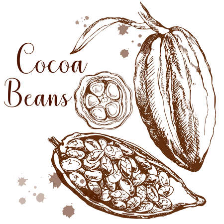 Hand drawn sketch style cocoa beans isolated on white background. Vector illustration.