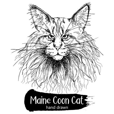 Hand drawn sketch style Maine Coon cat isolated on white background. Vector illustration. 矢量图像