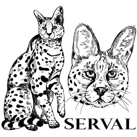 Hand drawn sketch style serval. Vector illustration isolated on white background.