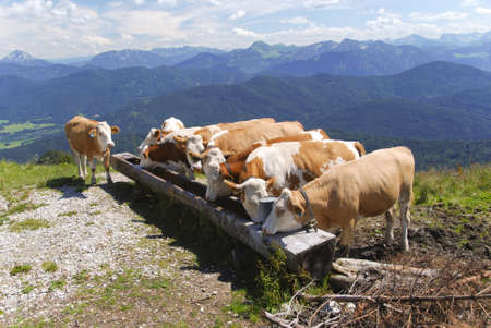 cows drinking in the alps Stock Photo