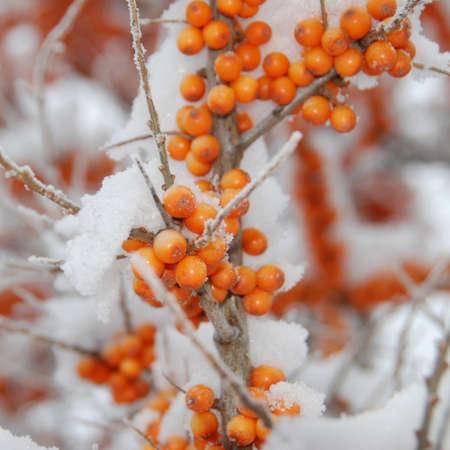argousier: les fruits d'argousier de neige en hiver