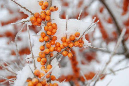 seabuckthorn in winter snow