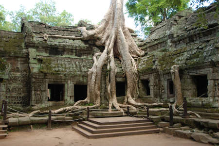 roots on one angkor temple in cambodia