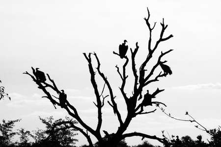 high contrast: vultures waiting for prey in south africa Stock Photo