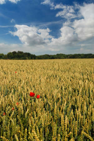 wheatfield in summer with blue sky and clouds Stock Photo