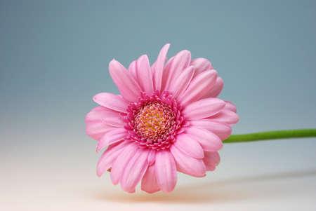a gerber flower thank you card