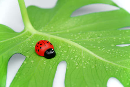 ladybug on a green leaf being lucky