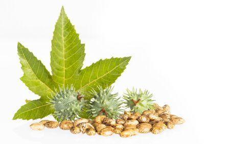 Green castor seeds - Ricinus communis Stockfoto - 133962707