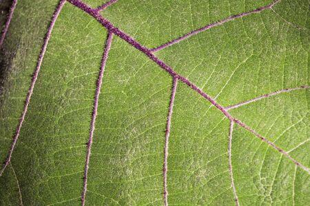 Solanum quitoense - Blatt der Lulofruchtpflanze