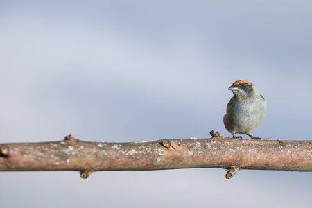 Tanager bird - Tangara vitriolina Stock Photo