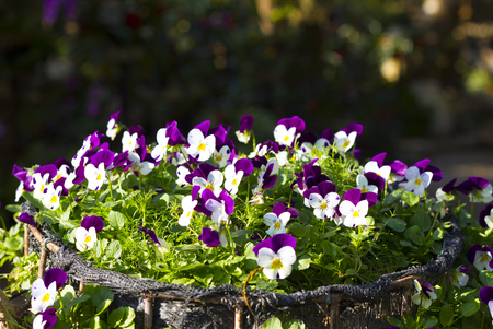 Pansy flowers, Pansies in garden