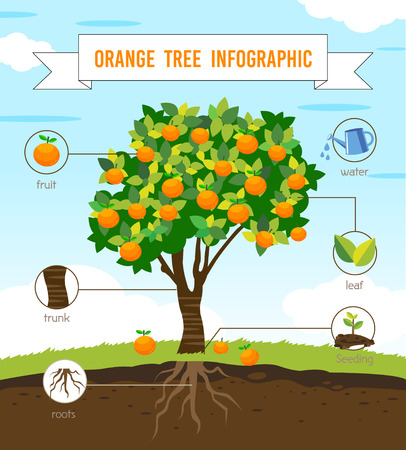 seeding: orange tree infographic vector