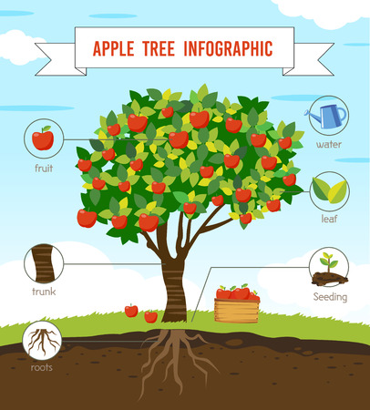 Apple tree infographic vector