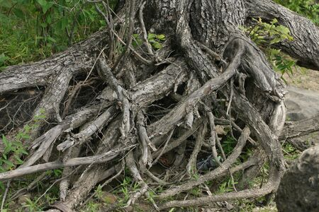 A tangle of tree roots