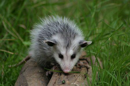 possum: A  possum sitting on a log Stock Photo