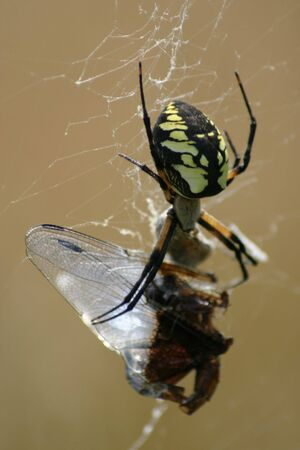 argiope: An argiope spider sitting with a caught dragon fly