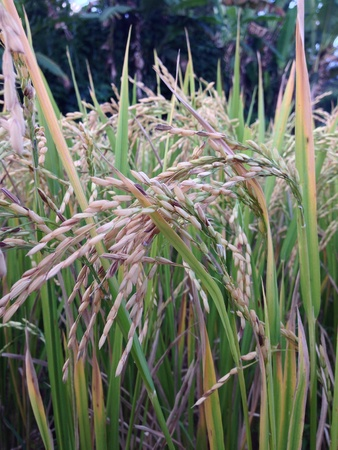 rice plant: Rice plant that ready to harvest Stock Photo