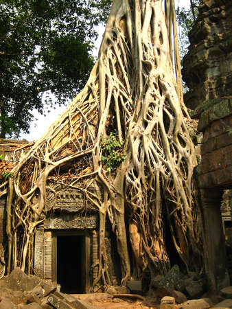 angkor: Tree root at Angkor Wat