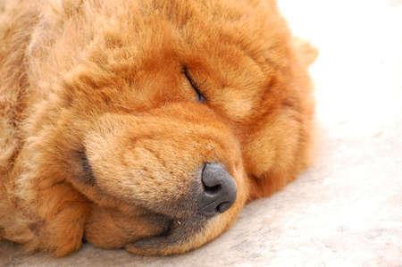 chow: Chow Chow Dog