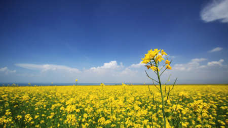brassica: Brassica campestris bloom near Qinghai Lake in summer
