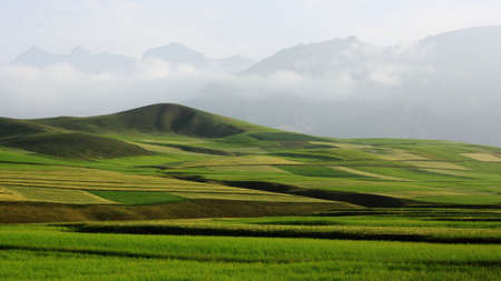 campestris: Field of wheat and Brassica campestris in Qilian mountain