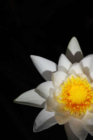 nenuphar: Nymphaea alba, also known as the European White Waterlily, White Lotus, or Nenuphar
