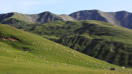 herdsman: Herdsman in the Qilian Mountains grows thousands of sheep in the grassland.