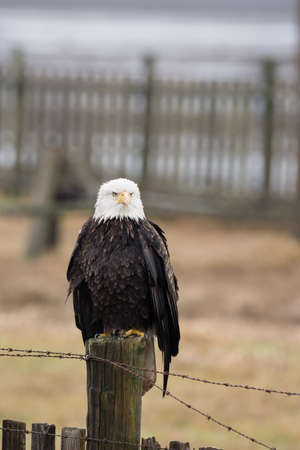 A Bald Eagle (Haliaeetus leucocephalus) perched on a wooden fence 版權商用圖片