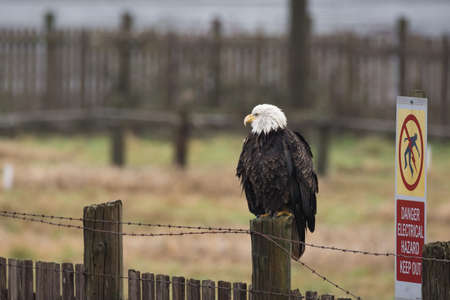 A Bald Eagle (Haliaeetus leucocephalus) perched on a wooden fence with a Electric Hazard warning sign posted.