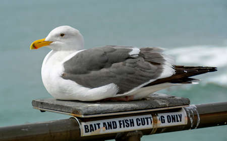 """Closeup of a gray and white seagull on the Huntington Beach pier with the ocean in the background. It is sitting on a small platform on a railing with a """"bait and fish cutting only"""" sign underneath."""