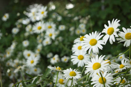 bunched: Daisies bunched together Stock Photo