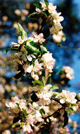 Apple blossom, pink apple blossom in spring, foreground in focus, lovely shot of natural beauty.