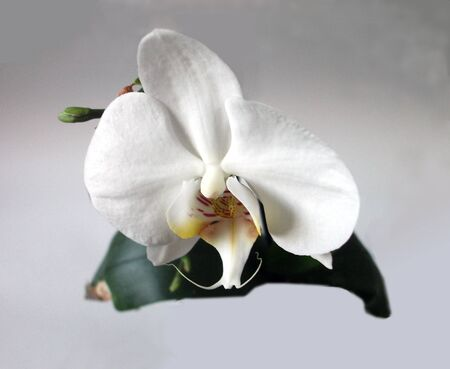White orchid, a single large white orchid flower with dark green leaves behind, and a gray natural background. Beautiful floral display of this superb stunning bloom.