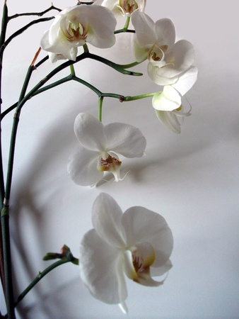 white flowers: White orchid flowers, a beautifully shaped display of large white orchid flower and stems with their shadows on a gray background. A stunning floral display.