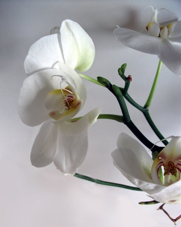 White orchid flowers #2, unusual view of large white orchid flowers, with just one edge of one flower in full light the rest in gray shadows. A stunning floral display.