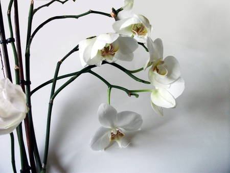White orchid flowers #3, a beautifully shaped display of large white orchid flower and curved stems with their shadows on a gray background. A stunning floral display.