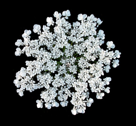 White flower head, a beautiful flower-head on a wild British plant in summer, the white flower head making a lovely natural shape against a dark background Stock Photo
