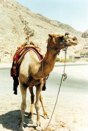 saddle camel: camel, a saddled Dromedary camel by a road, Eilat, southern Israel Stock Photo