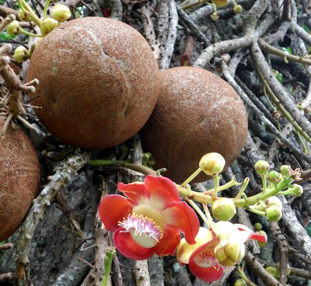 Cannon ball tree, fruit and flowers of the Cannon ball tree  Couroupita guianensis  originally from South America