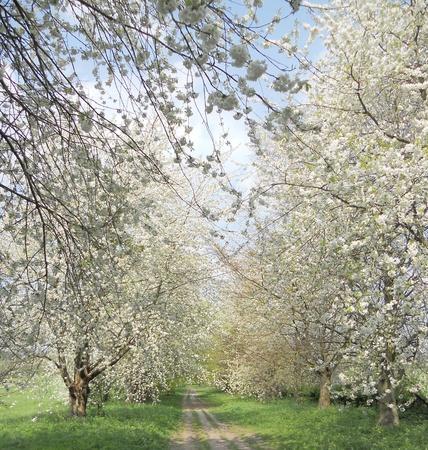 cherry blossom, an avenue of white ornamental cherry blossoms, Nork Park, Surrey, UK