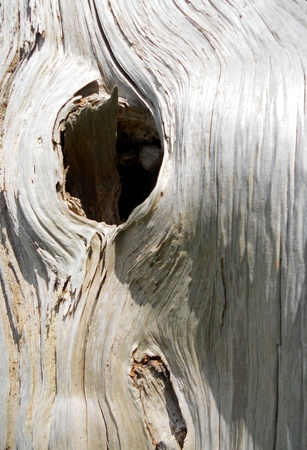 dead tree hole, a round hole in the white wood of an old dead tree