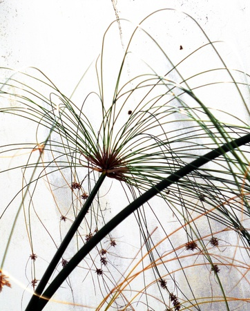 semi aquatic: floral explosion, closeup of an aquatic plant  of the sedge family  forming a beautiful semi-abstract pattern against a white background