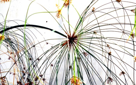 semi aquatic: floral firework, closeup of an aquatic plant  of the sedge family  forming a beautiful semi-abstract pattern against a white background Stock Photo