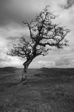 Hawthorn on Dartmoor 2, black and white shot of a single wind-blown Hawthorn tree in winter on Dartmoor, Devon, UK