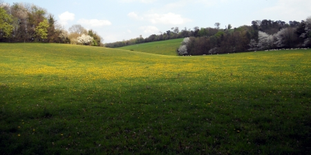 buttercups: meadow Surrey, a beautiful meadow with buttercups in Surrey, UK