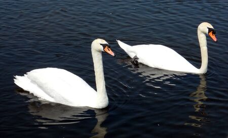 mute swans 2, a pair of mute swans swimming on a lake with small ripples  Stock Photo - 14809051