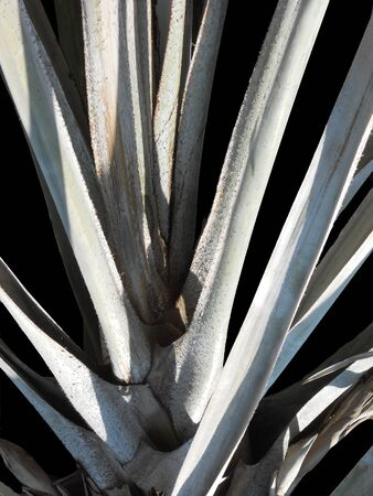 branching: palm branches, closeup of branching palm fronds, pale green against black Stock Photo