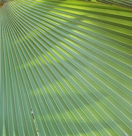 Palm leaf, beautiful shot of a fan palm leaf with sunlight and shadows photo