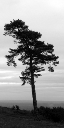 Scotts pine, A beautiful lone Scotts pine against a gently cloudy sky, Leith Hill, Surrey, UK  photo