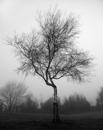 Silver birch in mist, A small silver-birch tree on a misty winter morning  UK   Stock Photo